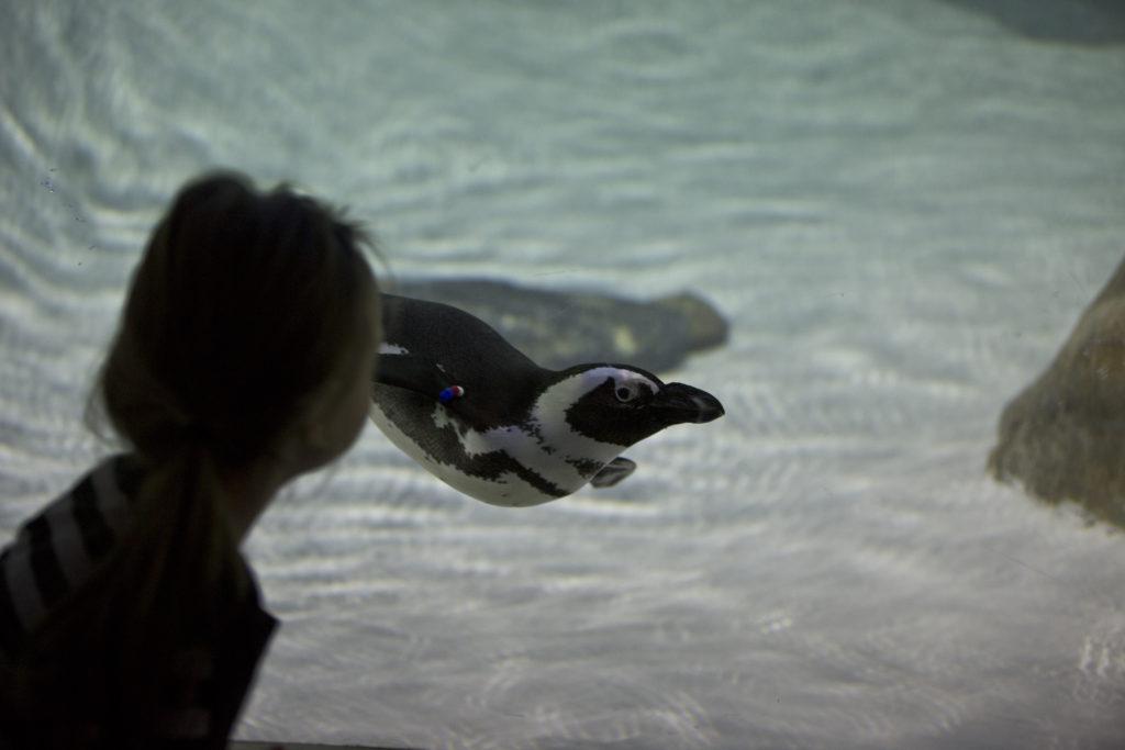 jenkinsons-aquarium-african-penguin-swimming-1