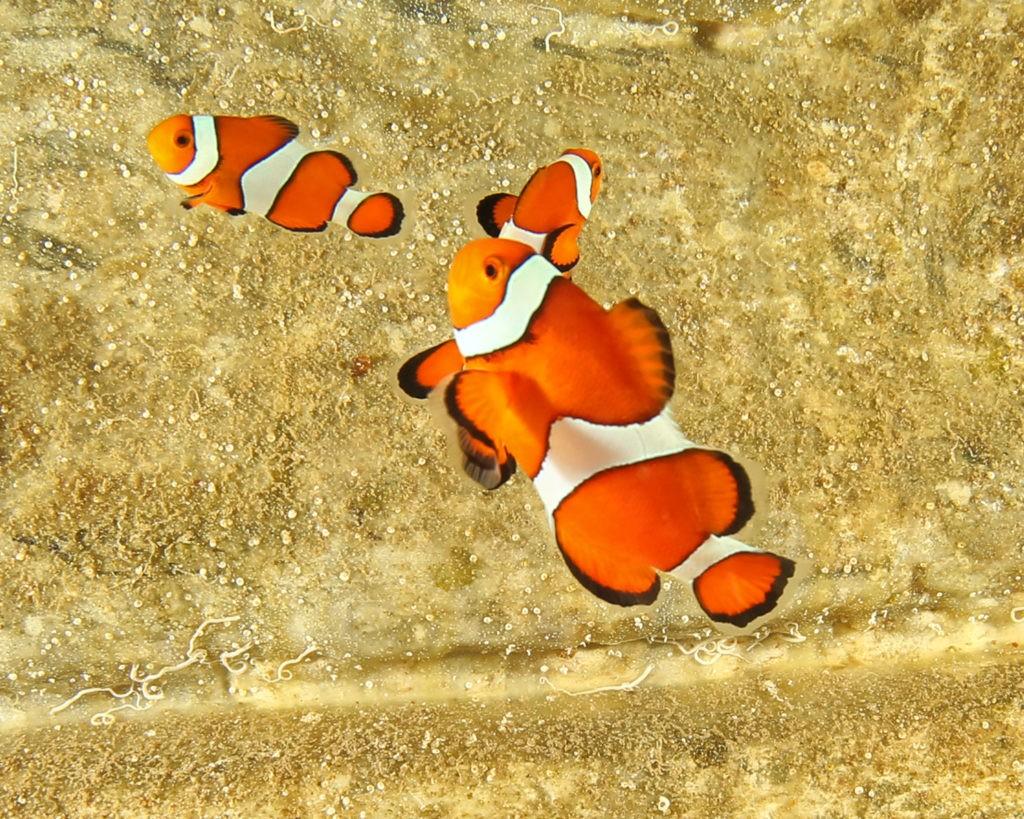 jenkinsons-aquarium-clownfish