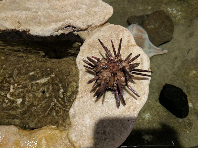 jenkinsons-aquarium-pencuil-sea-urchin