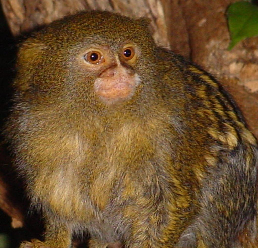 jenkinsons-aquarium-pygmy-marmoset