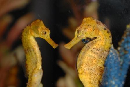 jenkinsons-aquarium-sea-horses