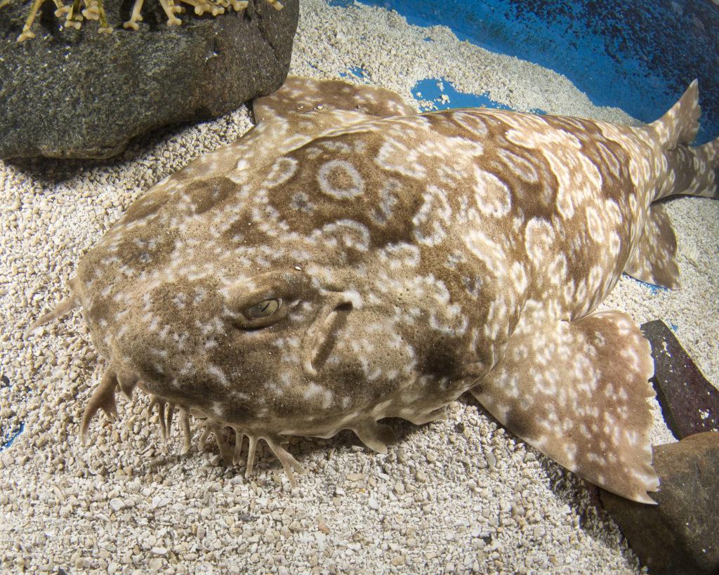 jenkinsons-aquarium-wobbegong
