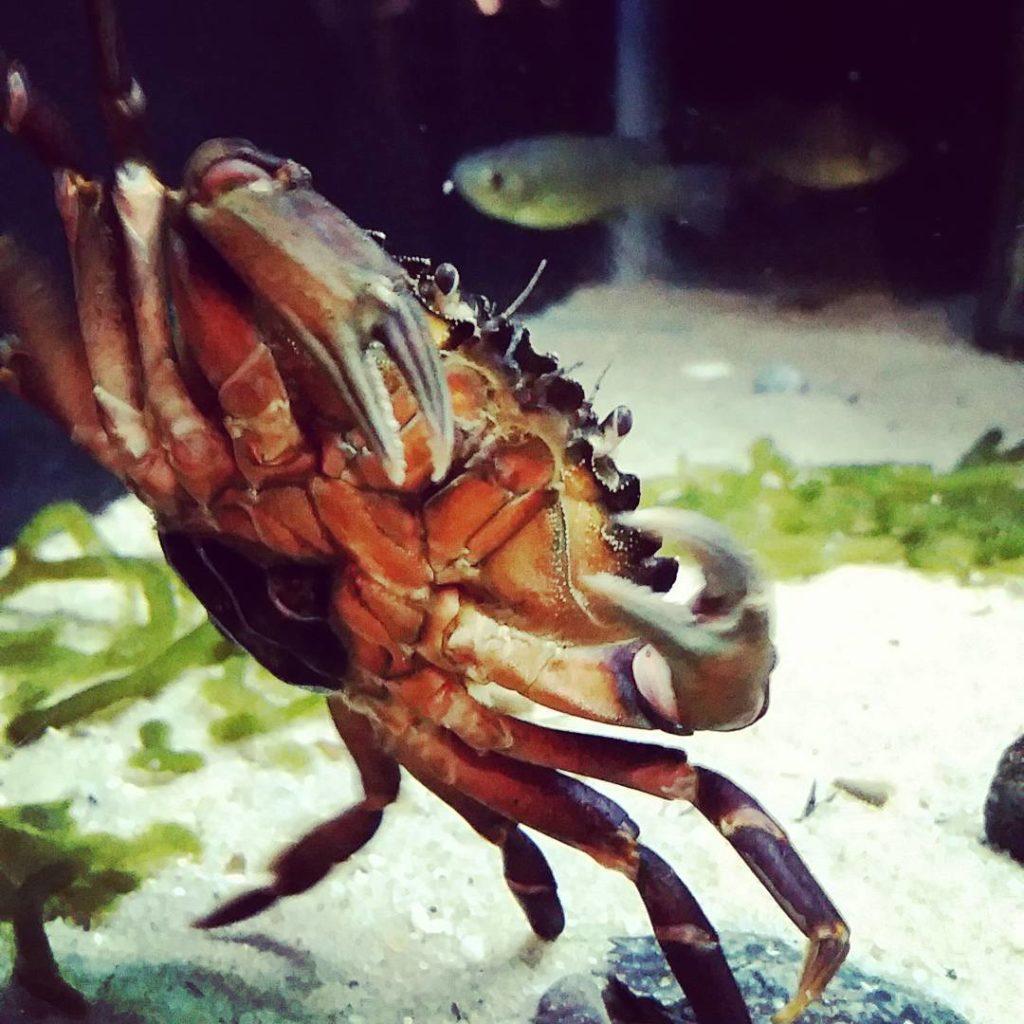 jenkinsons-aquarium-crab