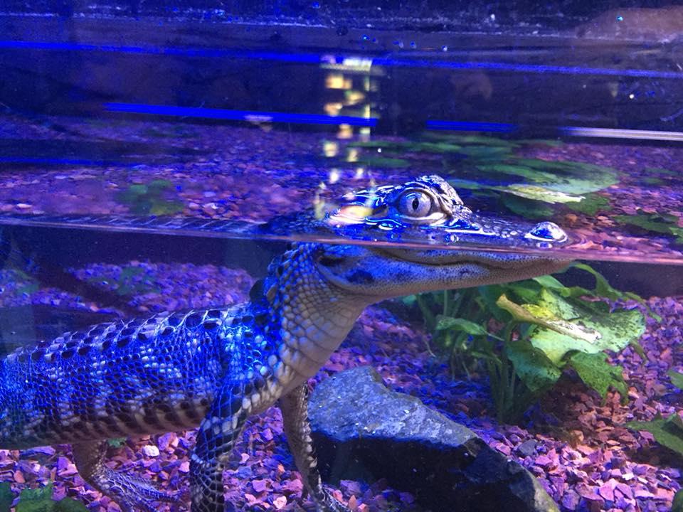 jenkinsons-aquarium-croc