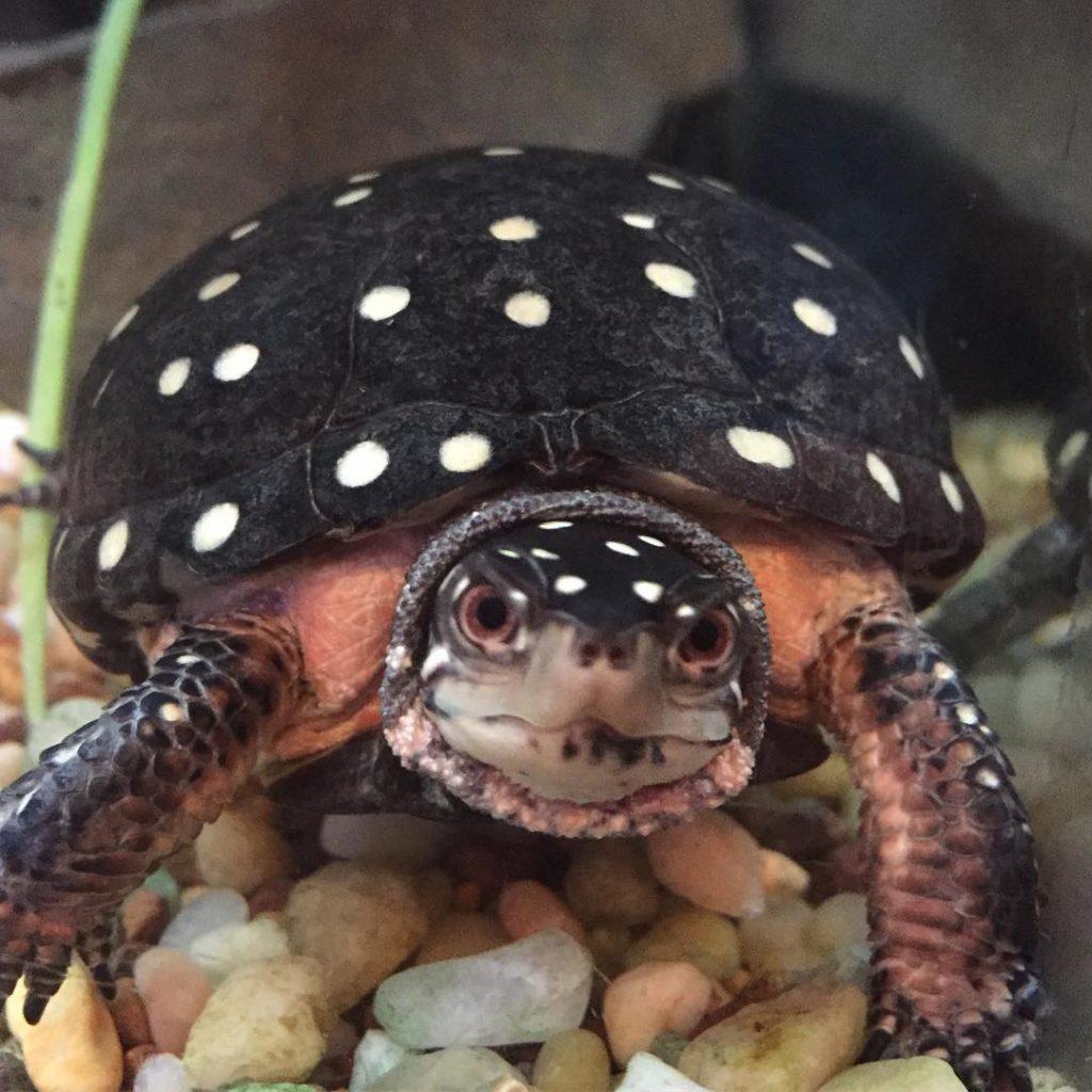 jenkinsons-aquarium-spotted turtle