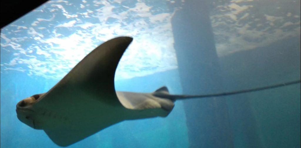 jenkinsons-aquarium-stingray2