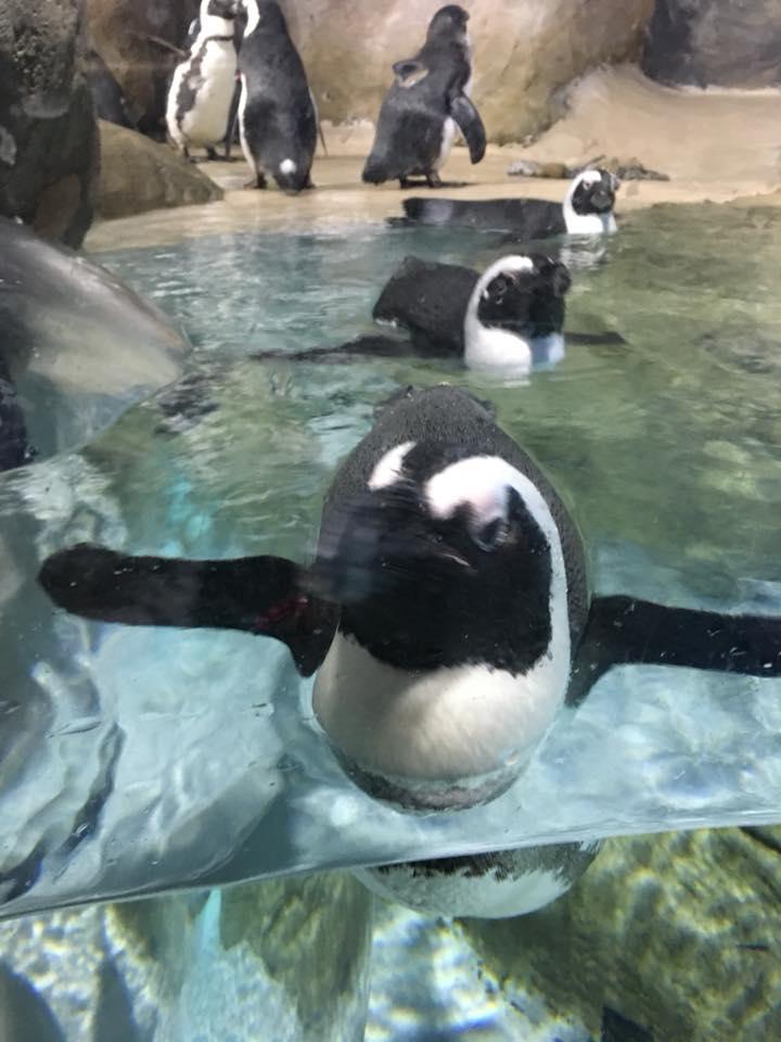 jenkinsons-aquarium-swimming-penguin